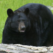 American Black Bear — Stockfoto
