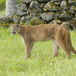 Stock Photo: Mountain Lion