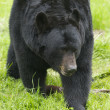 Stock Photo: AmericBlack Bear