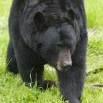 American Black Bear — Stock Photo #4932525