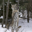 Stock Photo: Bobcat