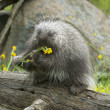 Stock Photo: Porcupine