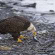 Alaskan Bald Eagle — Stock Photo #4932571