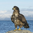 Alaskan Bald Eagle — Stock Photo #4932581