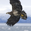 Alaskan Bald Eagle — Stock Photo #4932588