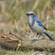Stock Photo: Endangered Scrub Jay