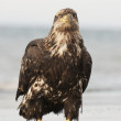 Alaskan Bald Eagle — Stock Photo