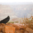Stock Photo: Common Raven