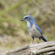 Endangered Scrub Jay — Stock Photo