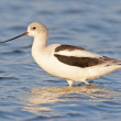 American Avocet - Stock Photo