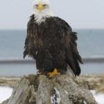 Alaskan Bald Eagle — Stock Photo #4932749