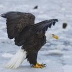Alaskan Bald Eagle — Stock Photo #4932824