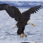 Alaskan Bald Eagle — Stock Photo #4932837