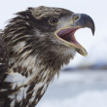 Alaskan Bald Eagle — Stock Photo #4932841