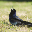 Stock Photo: Boat-tail Grackle