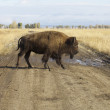 American Bison — Stock Photo