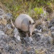 Stock Photo: Armadillo