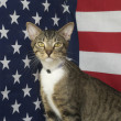 Mixed Breed American Flag Cat — Stock Photo