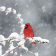 Northern Cardinal - Stock Photo