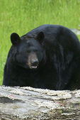 American Black Bear — Stock Photo