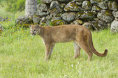 Mountain Lion — Stock Photo