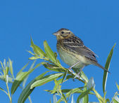 Little Bunting — Stock Photo