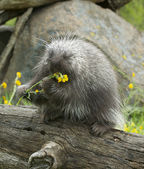 Porcupine — Photo