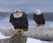 阿拉斯加秃头鹰 — 图库照片
