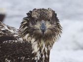Alaskan Bald Eagle — Stockfoto