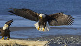 Alaskan Bald Eagle — ストック写真