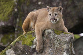 Mountain Lion — Photo
