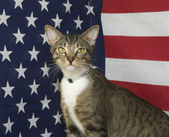 Mixed Breed American Flag Cat — Photo