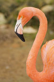 Flamingo portrait — Stock Photo