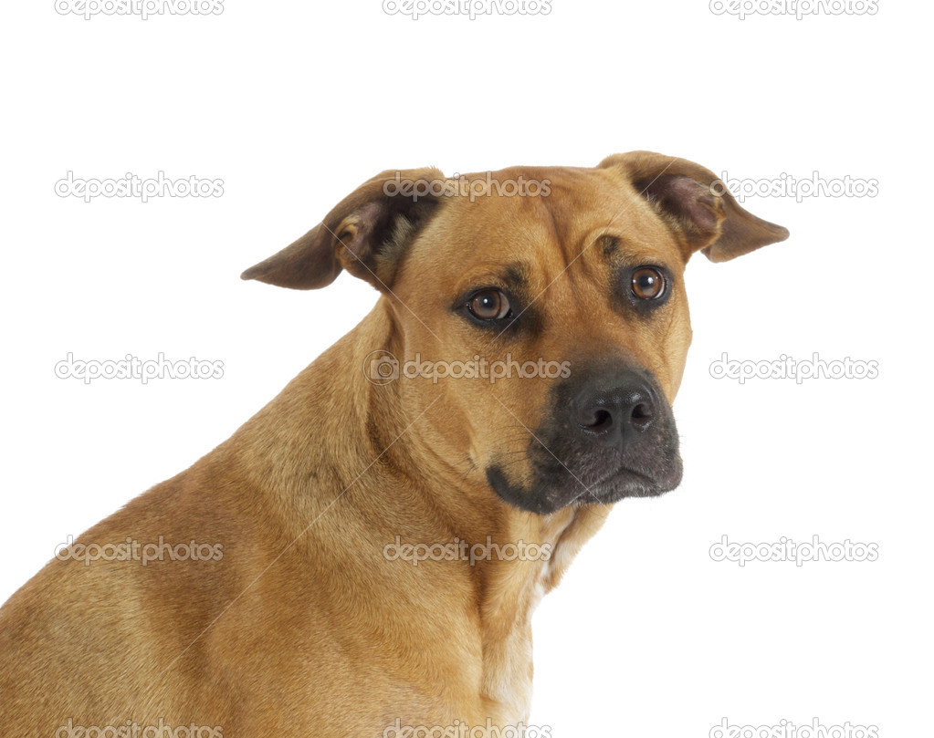 Mixed Breed Pit Bull Dog on white background  Stock Photo #4933398