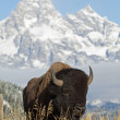 Bison — Stock Photo #4944965