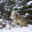 Howling Coyote — Stock Photo #4944967