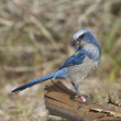 Scrub Jay — Stock Photo