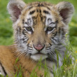 Tiger Cub - Stock Photo