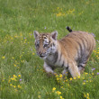 Stock Photo: Tiger Cub