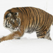 Amur Tiger — Stock Photo #4945163