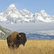 Bison — Stock Photo #4945167