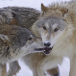 Gray or Arctic Wolves - Stock Photo