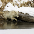 Gray or Arctic Wolf — Stock fotografie