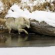 灰色または北極のオオカミ — ストック写真