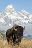 Bison — Stock fotografie