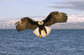 American Bald Eagle — Foto Stock