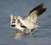 American Avocet — Stock Photo
