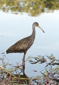 Limpkin on beach with colorful water background — Stock Photo