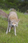 Coyote — Stock Photo