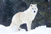 Gray or Arctic Wolf — Photo